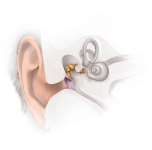 The ear and middle ear
